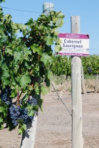 Cabernet Sauvignon planting from 2001
